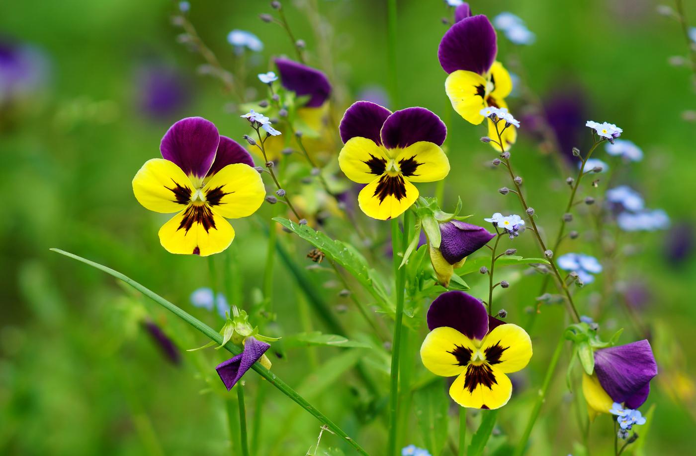 цветы анютины глазки с картинками оценили смелость девушки